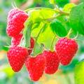 Плодовые кустарники и деревья