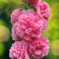 семена шток роз