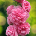семена шток-розы