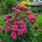 Саженцы цветов