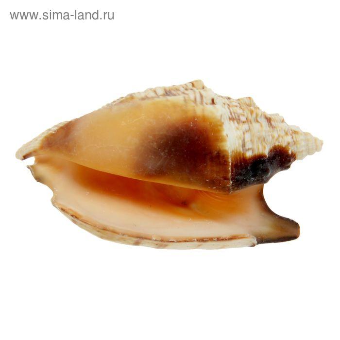 Морская раковина  Стромбус  булла 12011