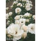 Саженец розы Эдельвейс 3-х летний, 20 см
