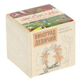 """ЭкоКуб для выращивания """"Виноград девичий"""""""