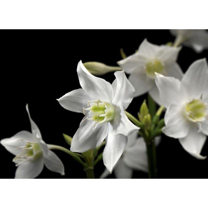 Фотообои Komar 4-259 Нарцисс  2,54x1,84 м (состоит из 4 частей)