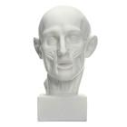 Гипсовая фигура, Экорше головы по Гудону, 22х22х48 см