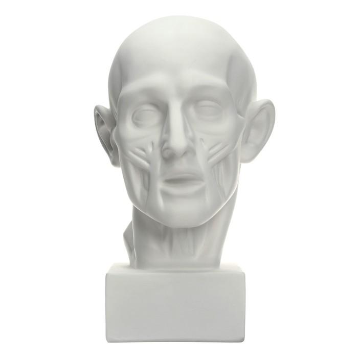 Гипсовая фигура Экорше головы по Гудону 22*22*48 см 10-107