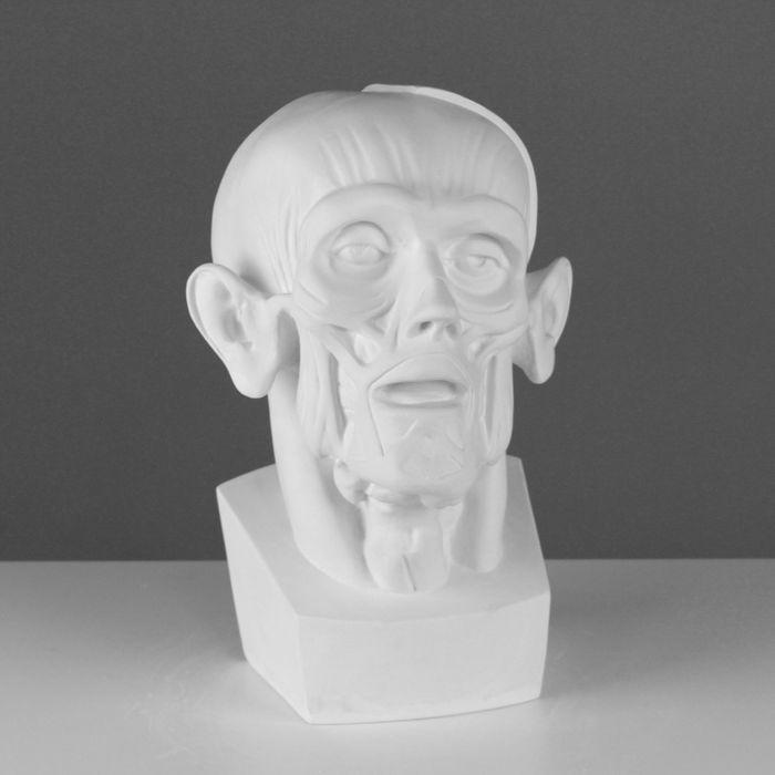Гипсовая фигура, Голова Мюнхенская (анатомическая), 24х20х33 см