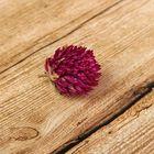 Сухие цветы клевера, 15 гр, цвет фиолетовый