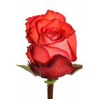 Саженец розы Игуана, 1шт