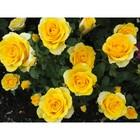 Саженец розы Илиос, 1шт