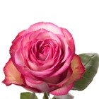 Саженец розы Карусель 1 шт