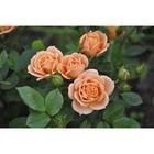 Саженец розы Клементина 1 шт