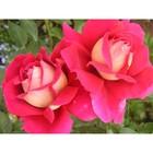 Саженец розы Кроненбург, 1шт