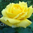 Саженец розы Ландора, 1шт