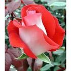 Саженец розы Латин Леди, 1шт