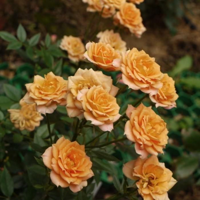Саженец розы Клементина