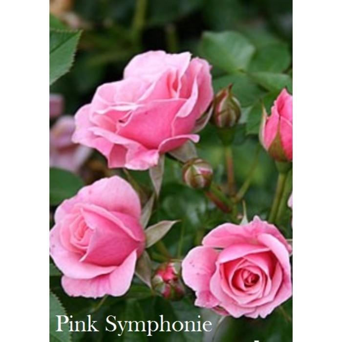 Саженец розы Пинк Симфони