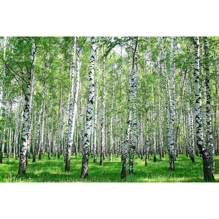 Фотобаннер, 250 × 158 см, с фотопечатью, с люверсами, «Берёзовая роща»