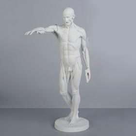 Гипсовая фигура. Экорше Гудона, 73,5 см