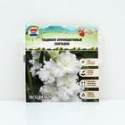 "Гладиолус Big Flowers ""Bangla Desh"", р-р 10/12, 7 шт"