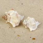Раковина морская Мурекс Вержинеус, по 2шт, 6-7 см