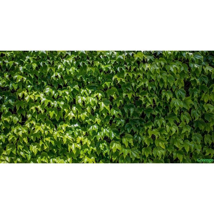 Фотобаннер, 300 × 160 см, с фотопечатью, «Виноградная стена»