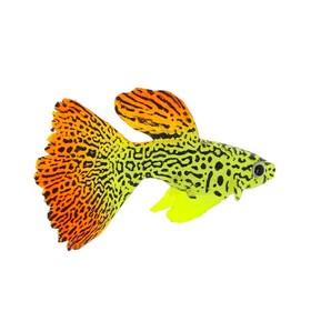 Флуоресцентная аквариумная декорация Gloxy, рыба гуппи на леске, 8х2,5х4,5 см