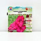 "Гладиолус Big Flowers ""Plumtart"", р-р 10/12, 3 шт"