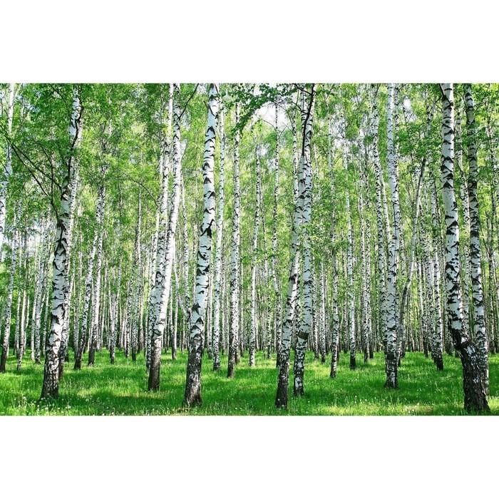 Фотобаннер, 250 × 150 см, с фотопечатью, с люверсами, «Берёзовая роща»
