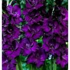 Гладиолус Big Flowers Violet Word, р-р 10/12, 3 шт