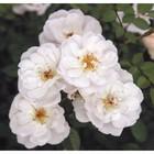 Саженец розы Биненвайде Вайз