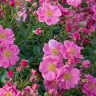 Саженец розы Биненвайде Роса