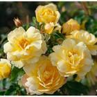 Саженец розы  Кандела