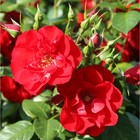 Саженец розы Паприка