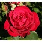 Саженец розы Штёртебекер