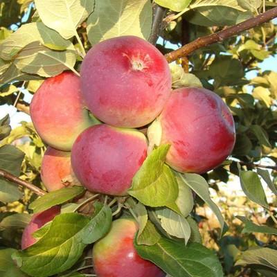 Яблоня «Орлик»