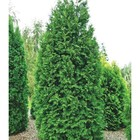 Thuja occidentalis Brabant in a pot 3 liters, height 40-60 cm