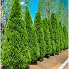 Thuja occidentalis Smaragd in a pot 3 liters, height 40-60 cm