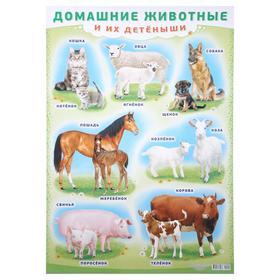 """Плакат """"Домашние животные и их детёныши"""" А2"""