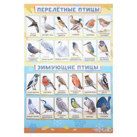 """Плакат """"Зимующие и перелётные птицы"""" А2"""
