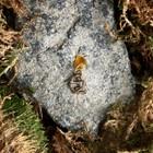 """Keychain mascot """"Sagittarius"""", natural amber"""