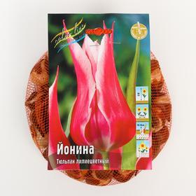 "Тюльпан ""Йонина"" 55см, р/р 11/12, сетка 50 шт"