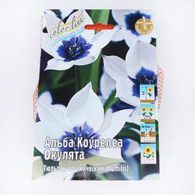 """Тюльпан """"Альба Коурелеа Окулята"""" 10см, р/р 6/+, сетка 50 шт"""