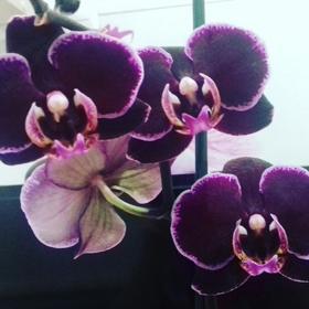 Фаленопсис Chi Yueh Purple Angel 2,5