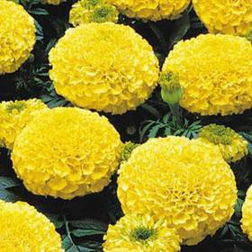 Семена цветов Бархатцы отклоненные Марвел Еллоу 1000 шт