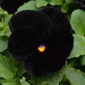 Семена цветов Виола виттрока Хеллоуин 1000 шт