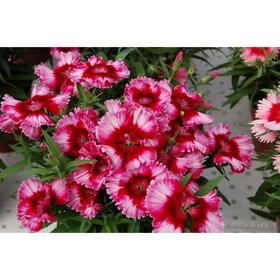 Семена цветов Гвоздика китайская Диана Кримсон Пикоти 500 шт