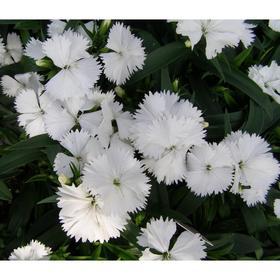 Семена цветов Гвоздика межвидовая Чиба Вайт 500 шт
