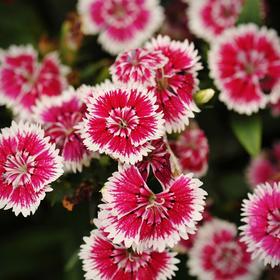 Семена цветов Гвоздика межвидовая Чиба Черри Пикоти 500 шт