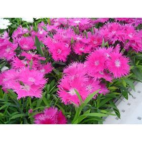 Семена цветов Гвоздика межвидовая Элеганс Лавендер 500 шт